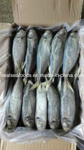 Frozen Fish Horse Mackerel pictures & photos