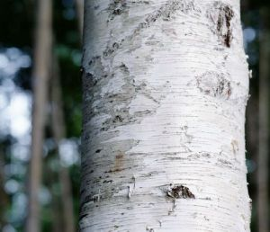 Treating Several Forms of Herpes and Even Aids of Birch Bark Powder Extract pictures & photos
