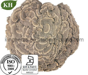 High Quality Coriolus Mushroom Extract with Polysaccharide pictures & photos
