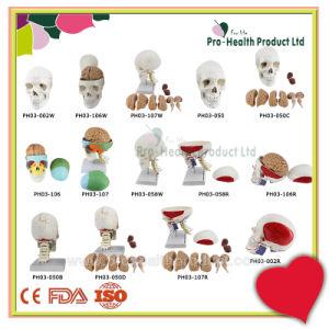 7 Cervical Vertebrae 8 Parts Brain And Skull 3D Model pictures & photos