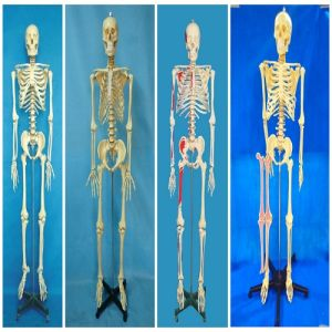 Science Education 170cm Human Skeleton Anatomical Plastic Model pictures & photos