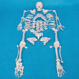 170cm Human Scattered Skeleton Medical Teaching Bone Model pictures & photos