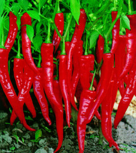 Top Quality Dried Fresh Chili Seeds pictures & photos