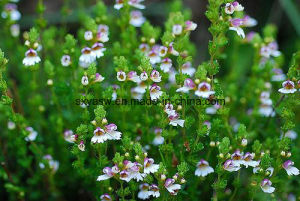 Natural Improve Eyesight 4: 1 10: 1 Eyebright Extract pictures & photos