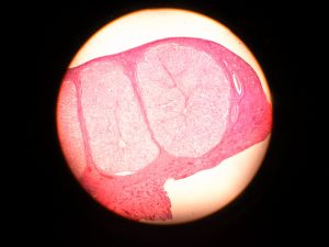 Animal Histology Prepared Microscope Slides pictures & photos