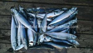 New Fresh Fish Seafrozen Mackerel pictures & photos