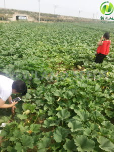 2016 Shine Skin Pumpkin Seeds Kernels AA to America pictures & photos