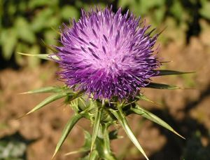 Pure Herbs Milk Thistle Extract (Silymarin 80%) Hot Sale pictures & photos
