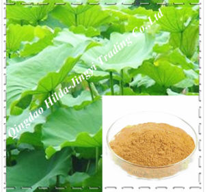 100% Natural Lotus Leaf Extract Powder (Nuciferine) for Losing Weight