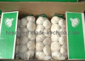 White Garlic in Carton