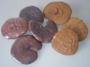 Reishi (Ganoderma Lucidum, Lingzhi)