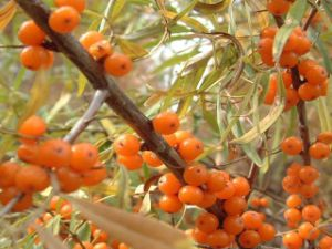Seabuckthorn Fruit Powder pictures & photos