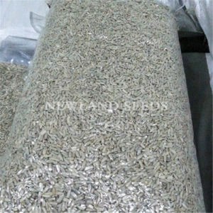 2016 Chinese Origin Sunflower Seeds Kernels pictures & photos