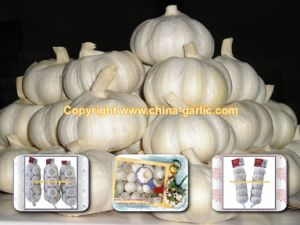 Pure White Garlic (2010 Jinxiang Crop)