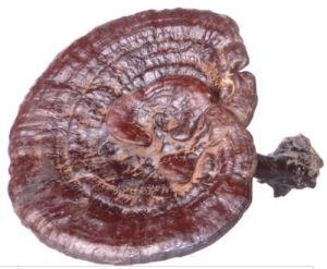 Ganoderma Lucidum(Reishi) Polysaccharide