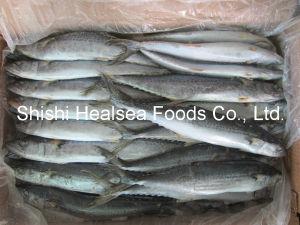 Bqf Frozen Spanish Mackerel Fish 500-700g 10kg/CTN pictures & photos