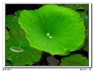 Supply with High Quality Lotus Leaf Extract pictures & photos