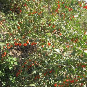 Medlar 2016 Fresh Organic Wolf Berry pictures & photos
