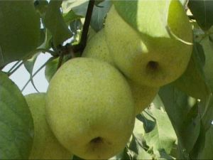 Fresh Shandong Pear pictures & photos
