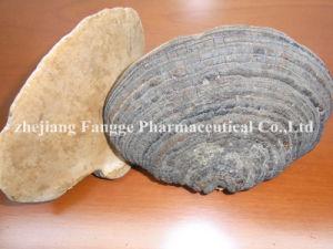 Phellinus Igniarius Extract 20%-40%; GMP/HACCP Certificate