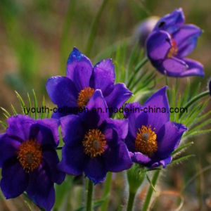 100% Natural Chinese Pulsatilla Root Extract, Anemone Root Extract, Anticancer, Cancer Drugs, Kill Cancer Cells pictures & photos