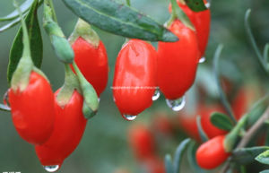 Dired Goji Berry (0006) pictures & photos