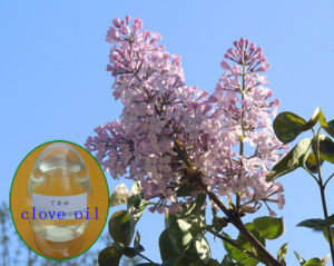 Factory Supply Clove Essential Oil for Skincare pictures & photos