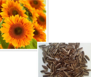 Sunflower Seeds 363 with High Quality and Hot Sale