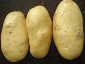 New Excellent Big Fresh Potato pictures & photos
