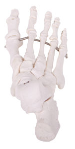 Medical Science Plastic Skeleton Foot Model for Teaching