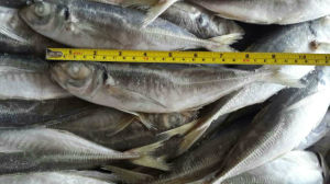 Frozen Horse Mackerel Fish 20cm+ pictures & photos
