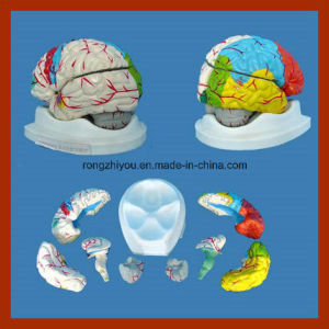 Natural Size Human Brain Model for Sale (8 Pieces) pictures & photos