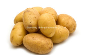 Potato for Export pictures & photos
