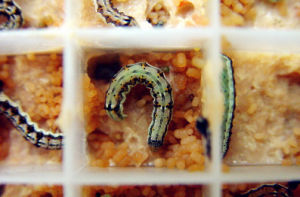 Live Insect Helicoverpa Armigera Larvae for Sale pictures & photos