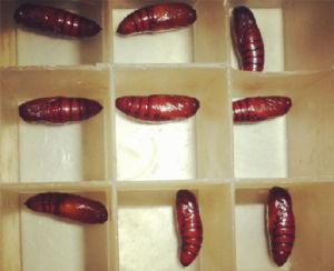 Live Insect Spodoptera Exigua Pupa for Sale pictures & photos