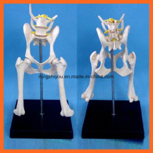 Animal Bone Model of Dog Lumbar Joint pictures & photos