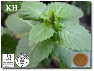 Supply High Quality Holy Basil Extract 10: 1 Ocimum Tenuiflorum L pictures & photos