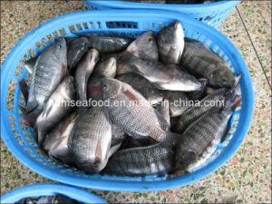 Whole Round Frozen Tilapia Fish pictures & photos