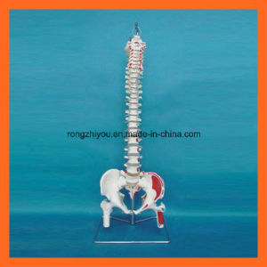 Scientific Hand Painted Muscles Human Spine Model with Femur Heads