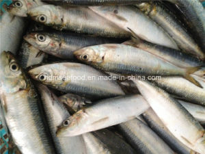 Bqf Fresh Frozen Sardine Fish pictures & photos