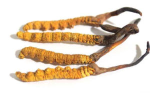 100% Pure Natural 10: 1 Cordyceps Sinensis Extract pictures & photos