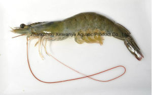 China Frozen Head-on Shell-on Penaeus Shrimp