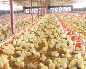 Automatic Controlled Poultry Equipment for Broiler Chicken pictures & photos