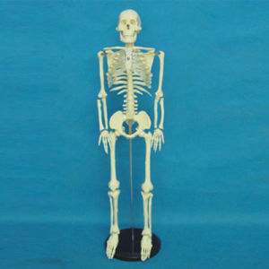 85cm Human Full Skeleton Medical Care Nursing Model (R020201) pictures & photos