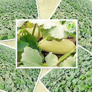 2016 New Crop Shine Skin Pumpkin Seeds to Europe pictures & photos
