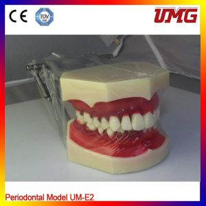 China Dental Equipment Dental Teeth Model pictures & photos