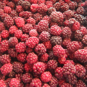 IQF Freezing Organic Blackberry Zl-021