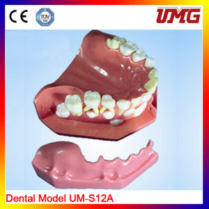 Dental Products Dental Study Model High Quality Dental Teeth Model pictures & photos