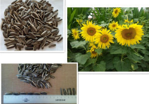 Sunflower Seeds 3939 with High Quality and Large Supplier