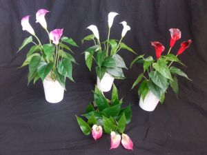High Quality of Artificial Flowers Calla Lily Bush Gu1495851826503 pictures & photos